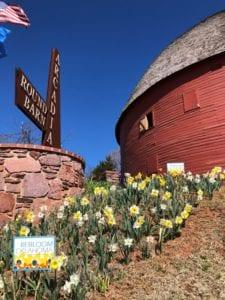 Oklahoma rebloom daffodil garden at the Arcadia Round Barn